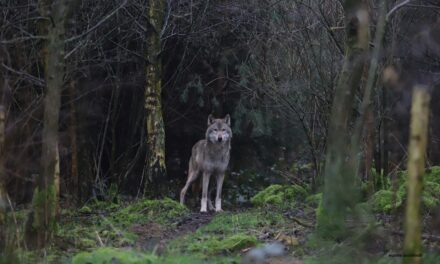 The European wolf: an unfamiliar new member of the forest